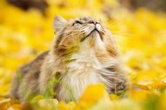 Ritratto di un gatto siberiano che si trova sul fogliame giallo caduto che cerca, animale domestico che cammina sulla natura in a immagini stock