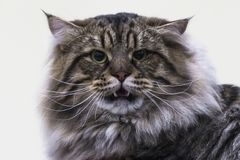 Ritratto di un gatto siberiano lanuginoso astuto Fotografie Stock