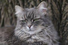 Ritratto di un gatto di soriano dai capelli lunghi grigio con gli occhi verdi e un naso rosa Immagini Stock Libere da Diritti