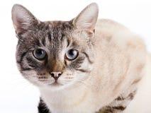 Ritratto di un gatto a strisce con gli occhi azzurri Fotografia Stock