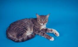 Ritratto di un gatto su un fondo blu Riposo dell'animale domestico Spazio vuoto per testo immagine stock