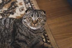 Ritratto di un gatto sul tappeto Fotografia Stock Libera da Diritti
