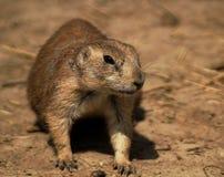 Ritratto di un genere Cynomys delle marmotte Fotografia Stock