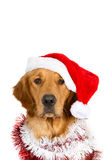 Ritratto di un golden retriever di sguardo con il cappello di Santa e le ghirlande di Natale Immagine Stock