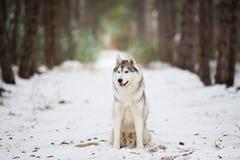 Ritratto di un husky grigio che si siede in una foresta nevosa Fotografia Stock