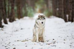 Ritratto di un husky grigio che si siede in una foresta nevosa Immagini Stock Libere da Diritti