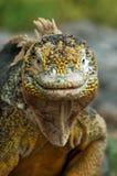 Ritratto di un'iguana Fotografia Stock Libera da Diritti