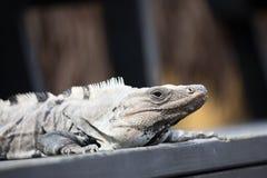 Ritratto di un'iguana Immagine Stock