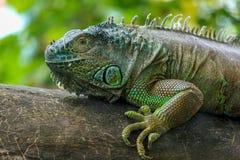Ritratto di un'iguana verde fotografia stock