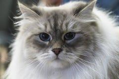 Ritratto di un lanuginoso astuto, gatto del siberiano del punto di colore Immagini Stock Libere da Diritti