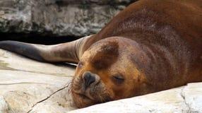 Ritratto di un leone marino patagonian fotografie stock libere da diritti