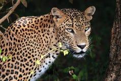 Ritratto di un leopardo dello Sri Lanka fotografia stock