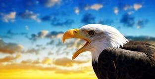 Ritratto di un leucocephalus calvo di Eagle Haliaeetus fotografia stock