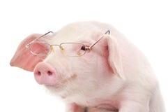 Ritratto di un maiale in vetri Fotografia Stock