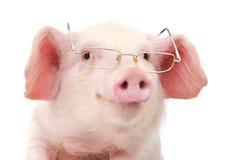 Ritratto di un maiale in vetri Immagini Stock
