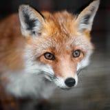 Ritratto di un maschio della volpe rossa Fotografie Stock Libere da Diritti