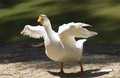 Ritratto di un'oca selvatica bianca Fotografia Stock
