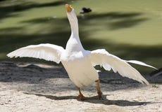 Ritratto di un'oca selvatica bianca Immagini Stock Libere da Diritti