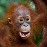 Ritratto di un orangutan del bambino Primo piano l'indonesia L'isola del Kalimantan Borneo Fotografia Stock Libera da Diritti