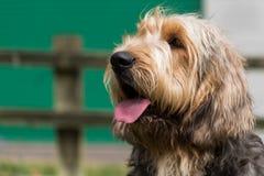 Ritratto di un Otterhound con la lingua fuori Fotografia Stock Libera da Diritti