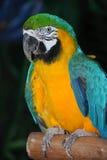 Ritratto di un pappagallo Immagini Stock