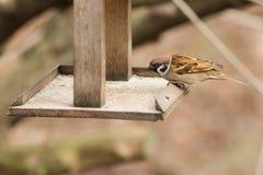 Ritratto di un passero affamato Fotografie Stock