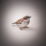 Ritratto di un passero di seduta, scenetta, primo piano, superficie della pelle Fotografie Stock Libere da Diritti