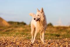 Ritratto di un pastore tedesco bianco ad un Pebble Beach Immagini Stock Libere da Diritti