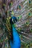 Ritratto di un pavone immagini stock libere da diritti