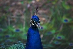 Ritratto di un pavone Fotografia Stock Libera da Diritti
