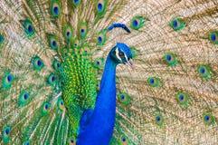 Ritratto di un pavone che esamina macchina fotografica fotografia stock