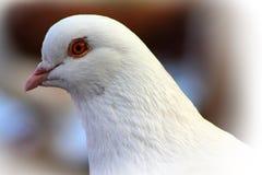 Ritratto di un piccione Fotografie Stock