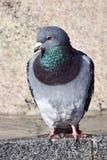 Ritratto di un piccione grigio fotografia stock