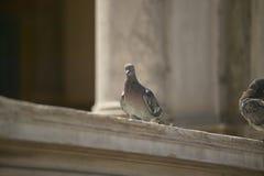 Ritratto di un piccione in marco di san della piazza a Venezia Immagini Stock