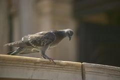 Ritratto di un piccione in marco di san della piazza a Venezia Fotografia Stock