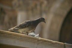 Ritratto di un piccione in marco di san della piazza a Venezia Fotografie Stock