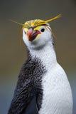 Ritratto di un pinguino reale fotografia stock