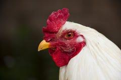 Ritratto di un pollo Immagini Stock