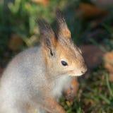Ritratto di un primo piano dello scoiattolo Fotografie Stock