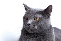 Ritratto di un primo piano liscio-dai capelli britannico del gatto blu fotografie stock