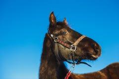 Ritratto di un puledro arabo sorpreso contro cielo blu fotografia stock