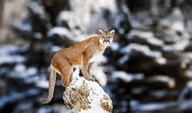 Ritratto di un puma, leone di montagna, puma, pantera fotografie stock libere da diritti