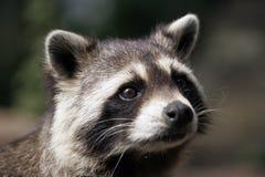 Ritratto di un raccoon fotografia stock