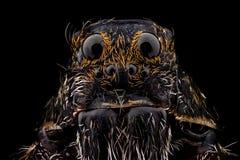 Ritratto di un ragno di lupo fotografia stock