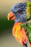 Ritratto di un Rainbow Lorikeet Fotografia Stock Libera da Diritti