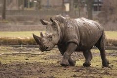Rinoceronte corrente Fotografia Stock