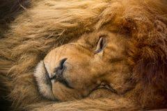 Ritratto di un riposo maschio del leone Fotografia Stock Libera da Diritti