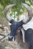 Ritratto di un toro nella via della città indiana Immagini Stock Libere da Diritti