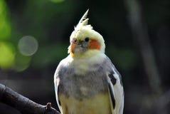 Ritratto di un uccello del cockatiel immagine stock libera da diritti