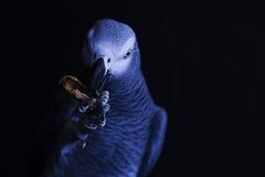 Ritratto di un uccello del pappagallo cenerino Fotografia Stock